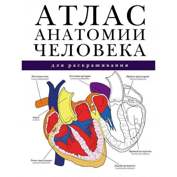 Атлас анатомии человека для раскрашивания для раскрашивания
