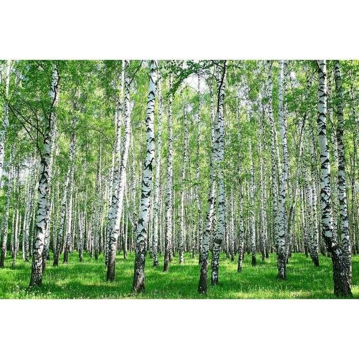 Фотосетка, 250 × 150 см, с фотопечатью, с люверсами, «Берёзовая роща»